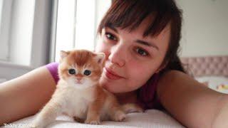 Golden British Shorthair kittens    1 month after birth