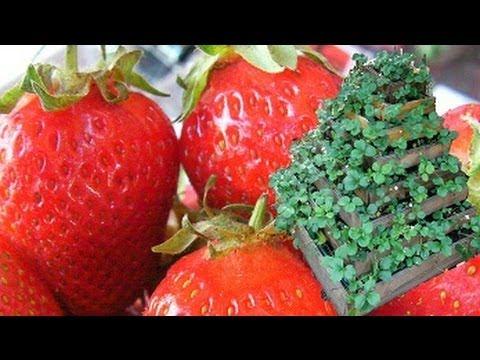 La culture facile des fraises biologique