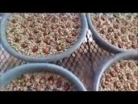 Cycad seeds planting