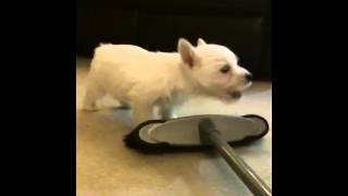 Westie Puppy Barking And Playing!!!