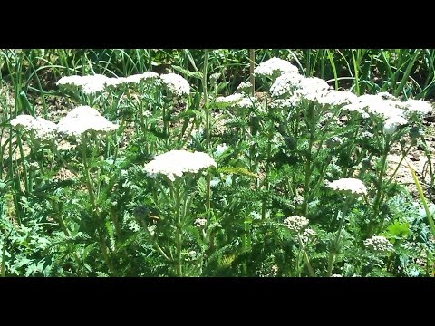 RCH Live Show: Yarrow Benefits