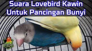 AMPUH Suara Lovebird Kawin Untuk Pancingan Bunyi