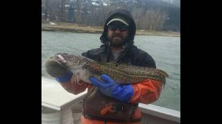 Gambar cover The decline and recovery of burbot in the Kootenai River.