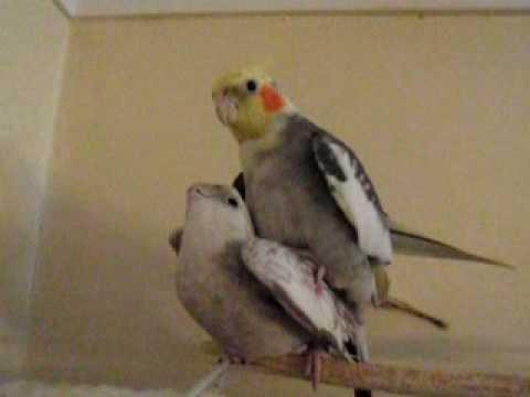 Попугаи про секс