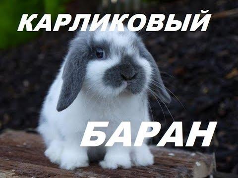 Карликовый баран. Какую породу кролика лучше выбрать. Обзор породы. Кролиководство
