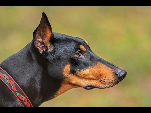 Chó Doberman Pinscher Và Ưu Nhược Điểm