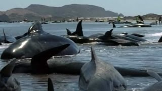 Volunteers try to rescue dozens of pilot whales stranded on NZ beach