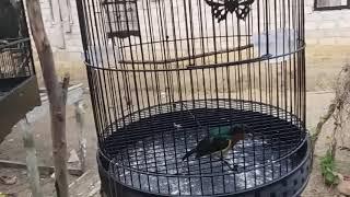 Macam-macam Jenis burung peliharaan teman