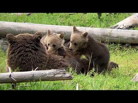 2019 Yellowstone adventure #yellowstone #bears #cranes