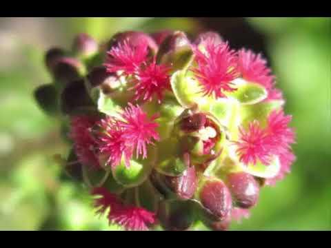 The Health Benefits of Salad Burnet Herb