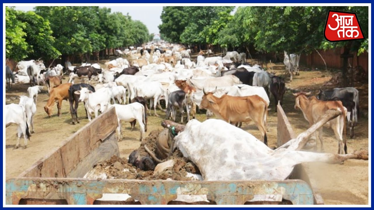 why cows die Within 2 days, around 36 cows die due to starvation in delhi's cow ranch in  chhawla areathe condition of cows in this cow ranch is extremly.