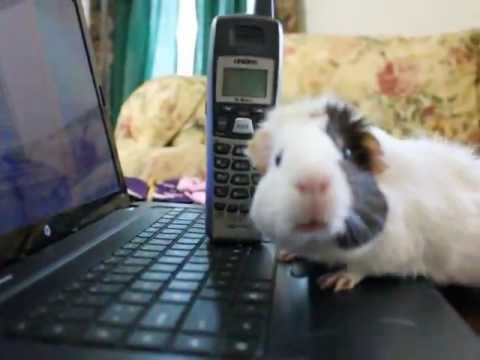 Lawyer Guinea Pig (a short film)