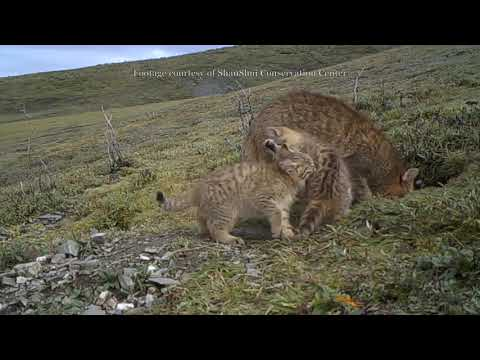 chinese mountain cat hd