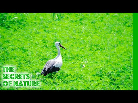 Flight of the Stork - The Secrets of Nature