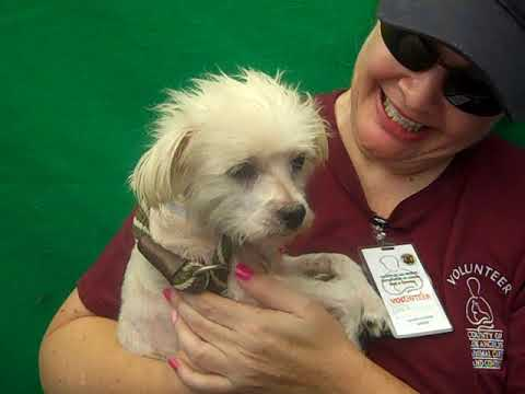 ADOPTED! A5097403 Tyler | Maltese/Miniature Poodle