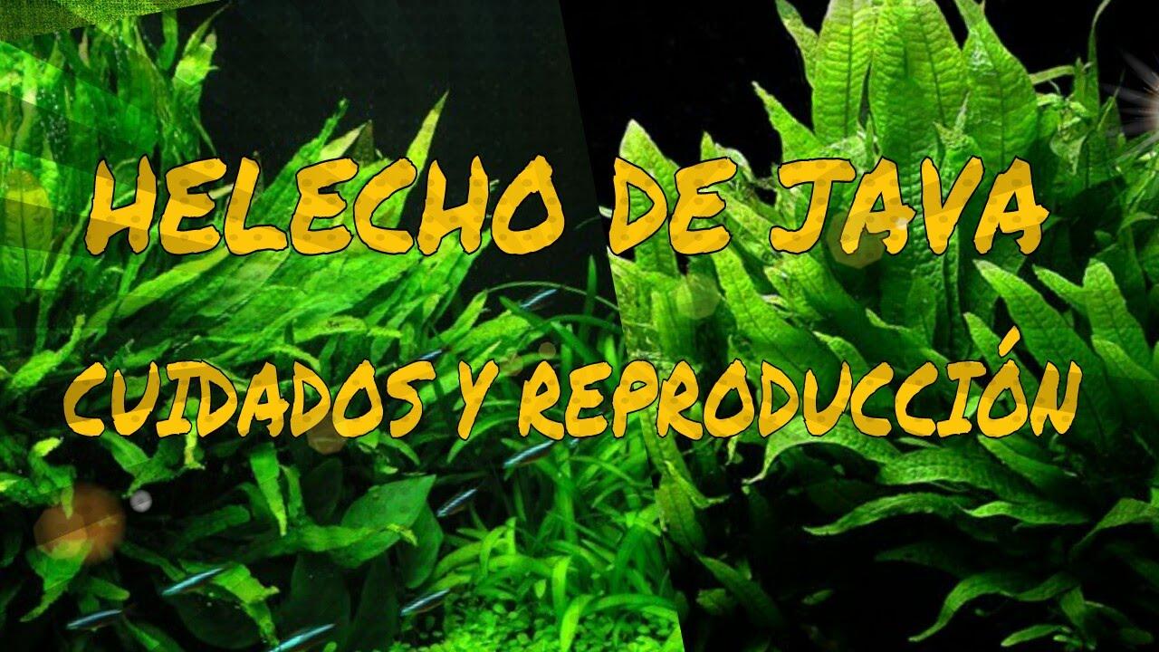 Plantas acu ticas helecho de java cuidados y - Cuidados de los helechos ...