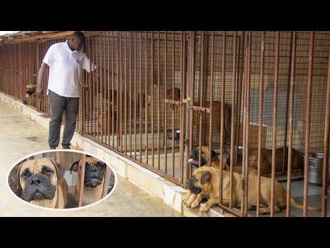 Twin Pillar Kennel visit, the kennel with over 20 solid French Mastiffs, Bull Mastiffs & Boerboels