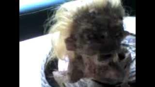 """Animal raro encontrado en el Chapare febrero de 2013 lo llaman """"SIRENA"""""""