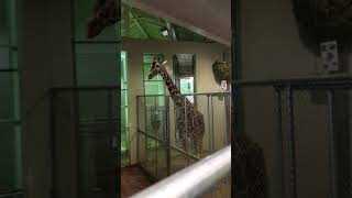 Cheyenne Mtn Zoo Giraffes Coming into the Barn (from Inside Barn)