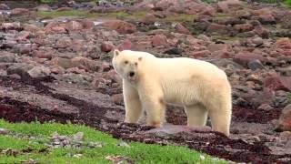 الفيلم الوثائقي Polar Bears: A Summer Odyssey كامل بجودة HD