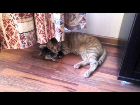 Кот ворует котят у кошки