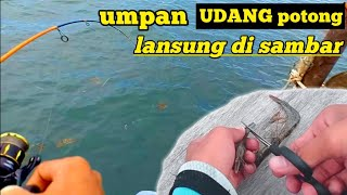 mancing di pinggir laut pakai umpan udang potong potong