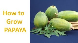 How to Grow Papaya. Step by step Guide. Easy to follow procedures.