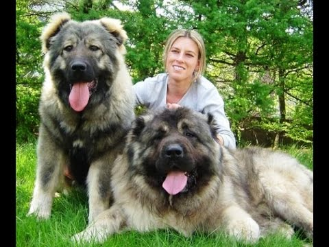 Top 15 BIGGEST Dogs In The World