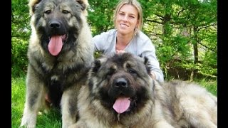 Biggest Dog Breeds From Around The World Top 15 Biggest Dogs Ever B...