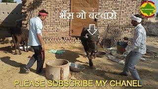 भैंस गो बंटवारो  शेखावाटी कॉमेडी राजस्थानी कॉमेडी हरियाणवी कॉमेडी murari lal sharma comedy