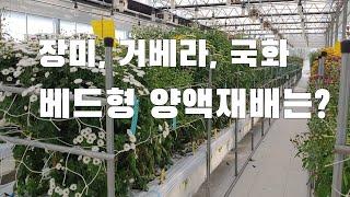 최신 화훼농장. 장미, 거베라, 국화 베드형 양액재배 …