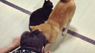 「触っちゃダメ〜!」まるでナイト?黒猫を守る柴犬