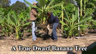 **Plant a Dwarf Chinese Banana Tree Correctly** ++  With Yellow Flowers ++