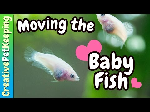 Moving the Baby Bettas || Fish Fan Friday Vlog