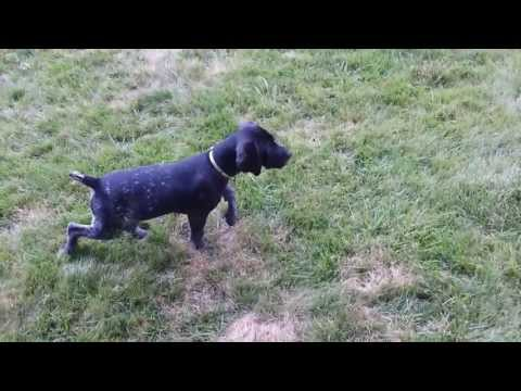 German shorthaired pointer Puppy learning to pointing