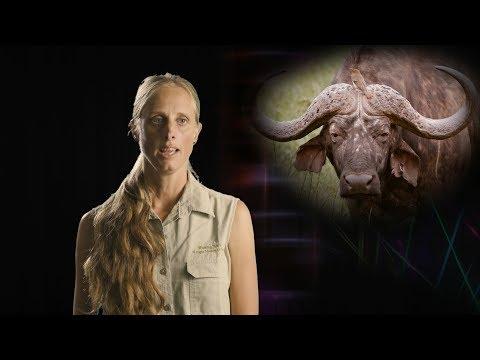 Doodsbenoud buffalo incident