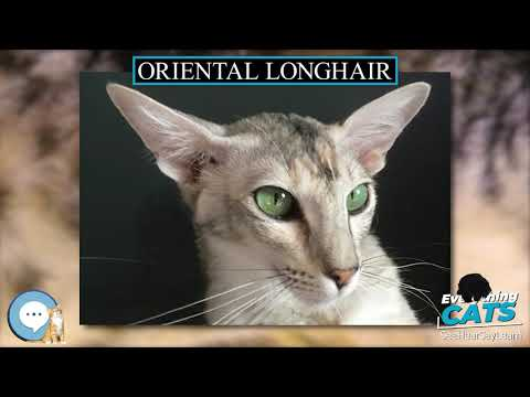 Oriental Longhair 🐱🦁🐯 EVERYTHING CATS 🐯🦁🐱
