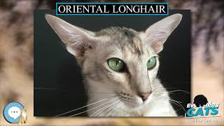 Oriental Longhair  EVERYTHING CATS