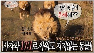 사자와 17:1로 싸워도 지지않는 동물! 영상공개