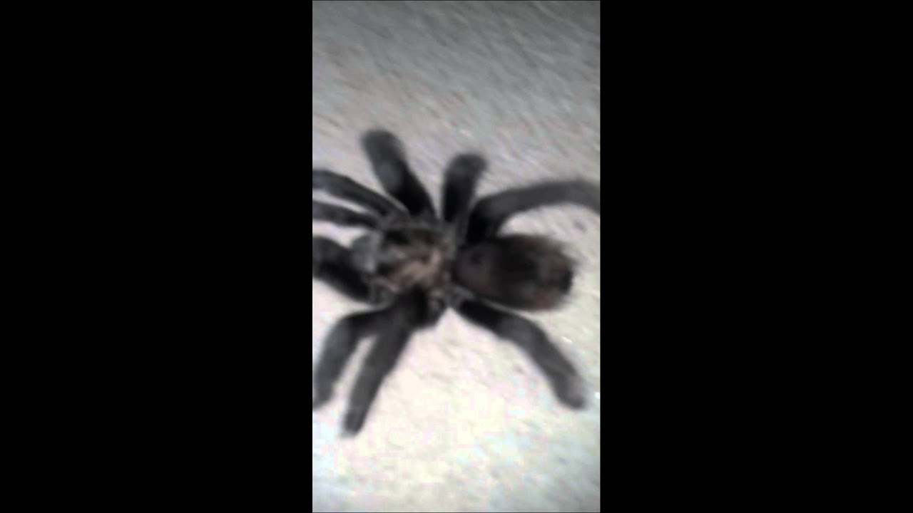 big fat tarantula