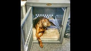 Bo - 2yr old Redbone Coonhound - 2 week Board & Train, Dog training Omaha Nebraska