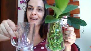 Cultivando Orquídeas em Vidros Com Agua
