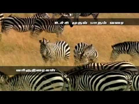 Award Winning Documentary - Zebra - amazing Life Of Animal Zebra
