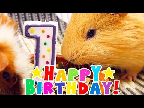 Морская свинка открытка с днем рождения, спасибо картинки