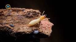 Fact: Termites fart so much they can speed up climate change | Your Morning