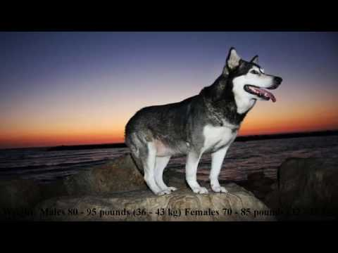 How To Handle Every Alaskan Malamute Dog