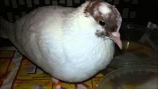 Balandis //  Dove