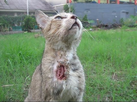 Jakarta Animal 16 This Cat is badly wounded at her neck Evening May 17 2015 BR TiVi 3208