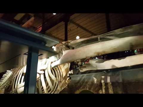 Blue whale skeleton at National Museum of Natural History Paris الهيكل العظمي للحوت الأزرق في باريس