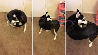 Puppy Left Shocked After Finally Catching Her Tail